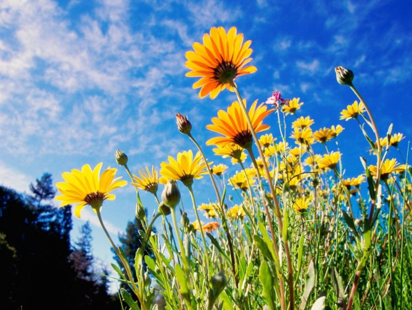 african-daisies_7402_1024_768